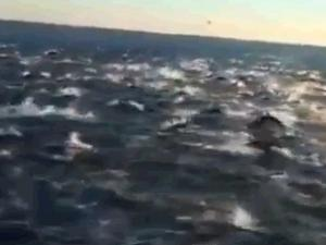100000 dolphins Over 100,000 Dolphins Gather In Never Before Seen Super Pod (Video)