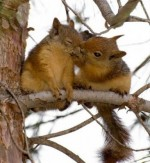 Squirrels in love...