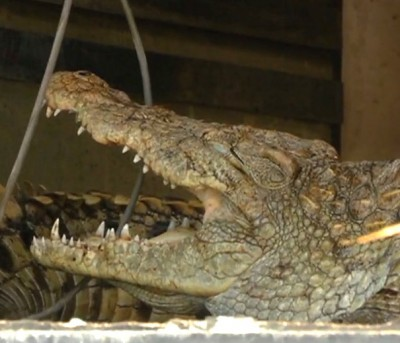 150 crocodiles, alligators rescued from Toronto-area home  4
