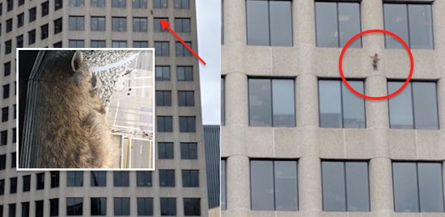 LOOK: Daredevil St. Paul Raccoon Scales MN High Rise Takes ...