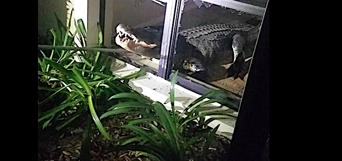 FL Family Wakes Up To 11-Foot Alligator