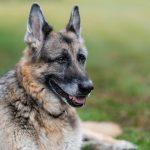 'Champ' Biden Family German Shepherd Passes Away Says Jill On Twitter Saturday