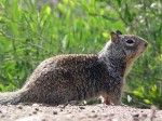 300px CA Ground Squirrel 150x112 Britney Moving Into $25,000 mo. House in Thousand Oaks