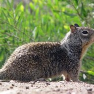300px CA Ground Squirrel 190x190 Britney Moving Into $25,000 mo. House in Thousand Oaks