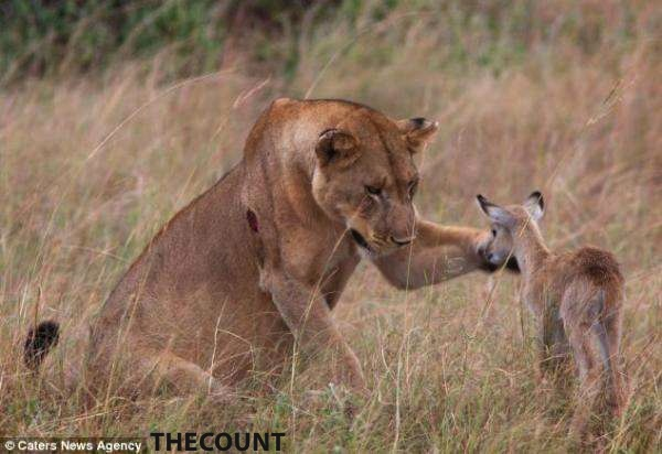 A4wVrwaCMAE9i6Q Full Grown Lioness Befriends Baby Antelope AMAZING PHOTOS!