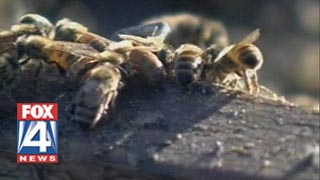 Africanized Bees STING Dozens Of School Children In Fort Worth