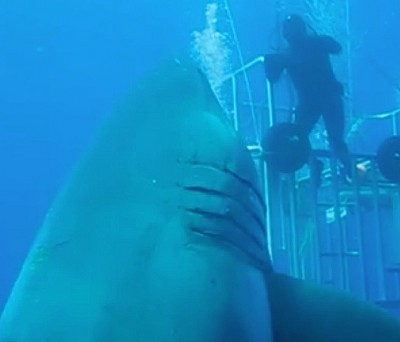 Deep Blue The biggest great white shark ever filmed