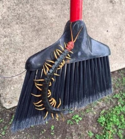 Giant Redheaded Centipede texas broom 400x446 YIKES! GIANT Centipede Spotted In Texas Park