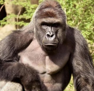harambe-cincinnati-zoo-evacuated