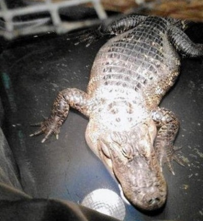 Lansing man kept alligator in home for 26 years, police say