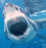 Shark 670x447 155x160 MONSTER Great White Shark Prompts Massachusetts Beach Closure