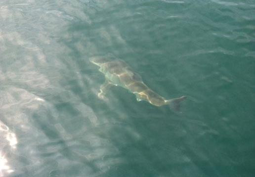 Shark-jpg