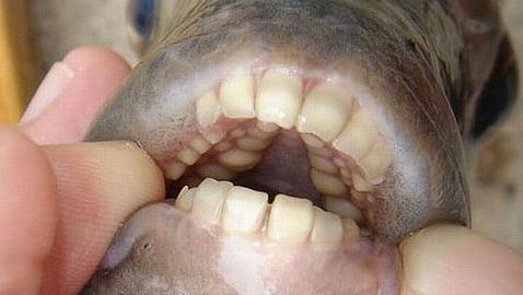 The fish was identified as a pacu. A second pacu was found just weeks later in the same lake.