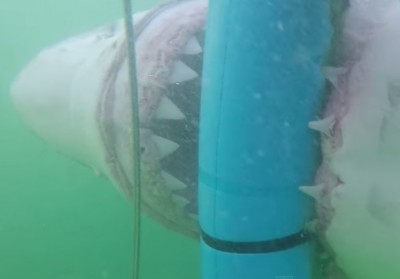Tourists Shark Cage great white shark 2 400x279 INCREDIBLE VIDEO: Tourists In Shark Cage INTENSE Encounter With MONSTER Great White Shark