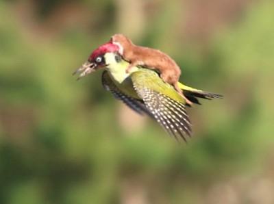 Weasel Riding A Woodpecker 2