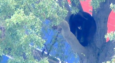 bear in tree Paramus