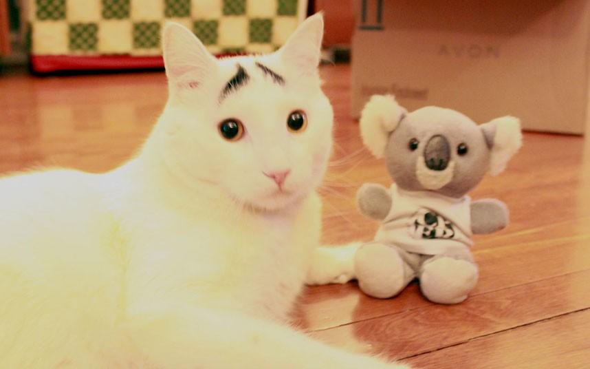 cat-eyebrows-koala_2474708k