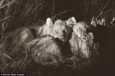 cecil lion cubs 3