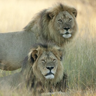 cecil the lion brother Jericho 2 Cecil The Lion BROTHER Jericho SHOT DEAD By Poachers