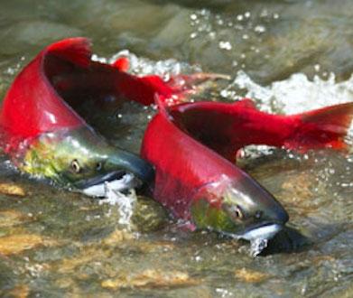 fake Wild Alaskan Salmon 4