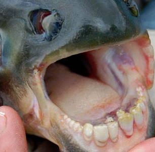 fish human teeth Pacu MI