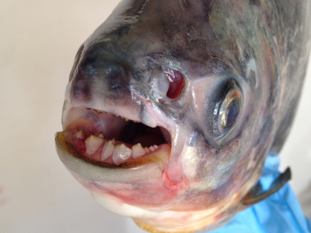 Fish With HUMAN TEETH That Dines On TESTICLES Caught In MI ...