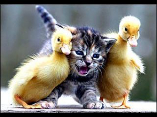 Funny and Cute Baby Ducks Pictures