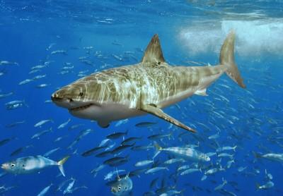 great white attack Montana de Oro shark 4