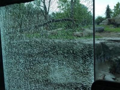 grizzly bear smashes window minnesota zoo 3