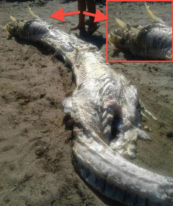 horned sea monster ideal.es almeria facebook HORNED Sea MONSTER Washes Up On Spanish Beach!!