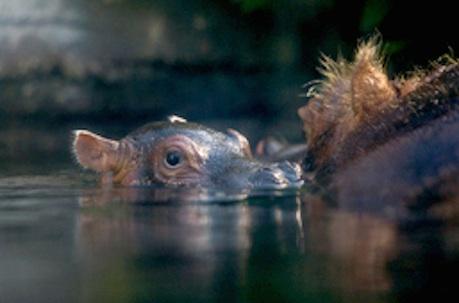 la-me-ln-baby-hippo20140403-001