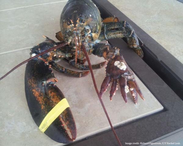 lola-lobster-2-600x480