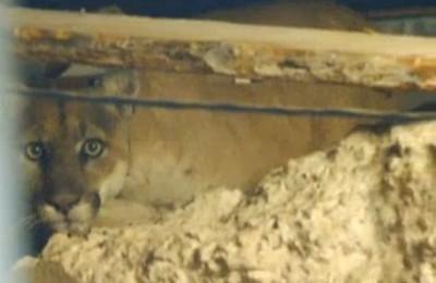 p-22 stuck in los Feliz home lion 5 5