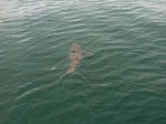 Another Great White Shark Patrolling Cape Cod (PHOTOS VIDEO!)