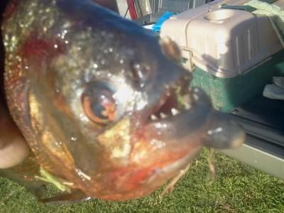 piranha Lake Bentonville 400x300 Piranha Caught In Arkansas Lake