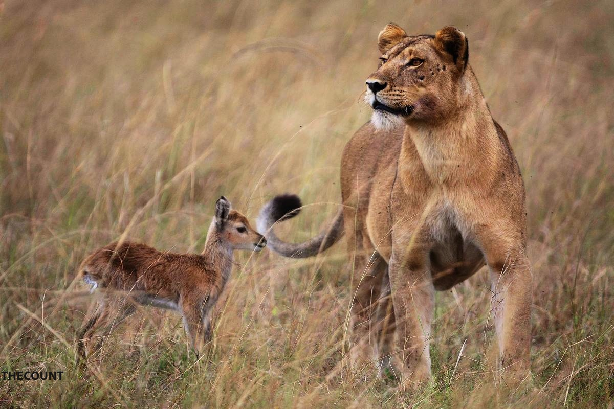 slide 255495 1616203 free Full Grown Lioness Befriends Baby Antelope AMAZING PHOTOS!