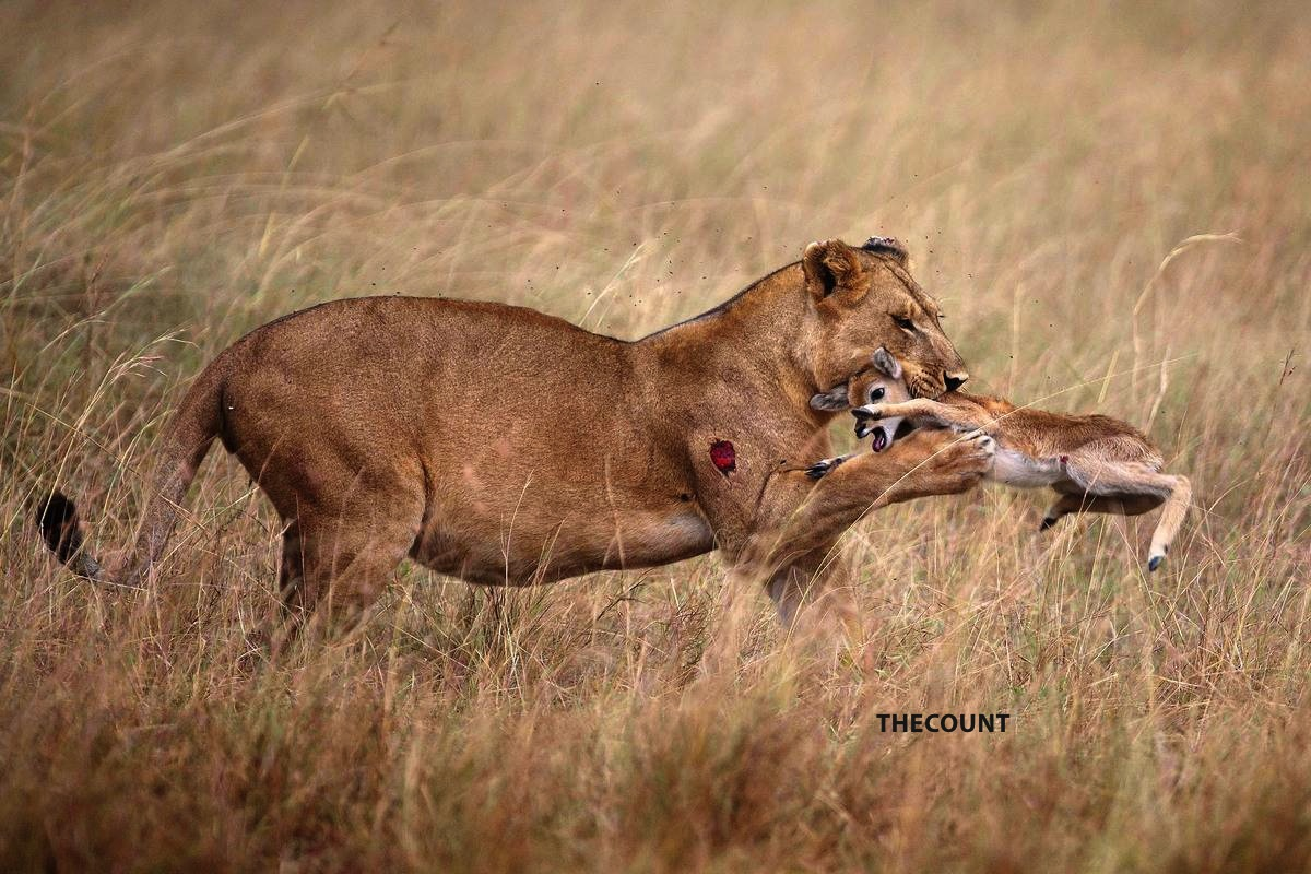 slide 255495 1616204 free Full Grown Lioness Befriends Baby Antelope AMAZING PHOTOS!