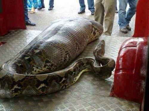 snake eats person