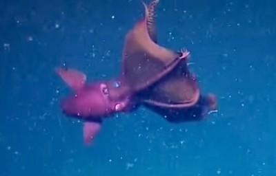 vampie squid